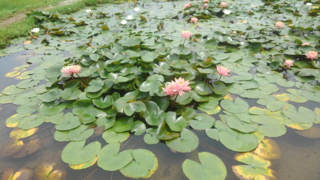 ピンクのスイレンの花