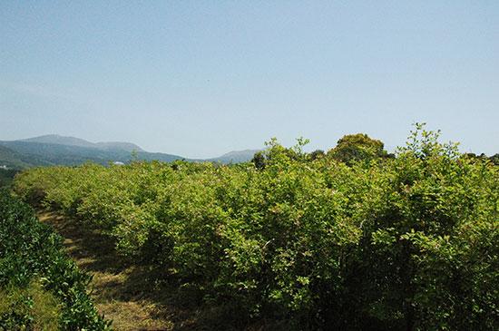 霧島連山ふもとのブルーベリー畑