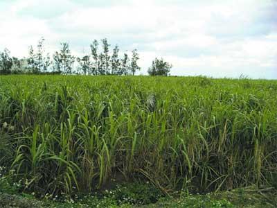 宇検村にあるサトウキビ畑