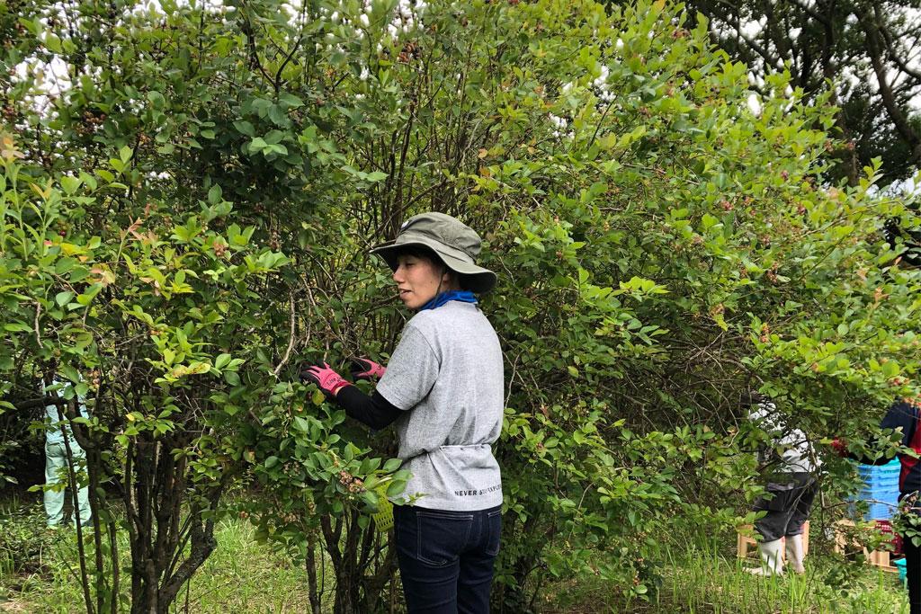 明るい農村 ブルーベリーの収穫(7月20日 霧島)